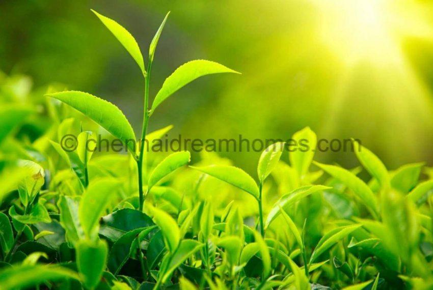 tea estate in ooty
